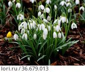Schneegloeckchen, Galanthus nivalis, ist eine Blume die im Winter... Стоковое фото, фотограф Zoonar.com/Manfred Ruckszio / easy Fotostock / Фотобанк Лори