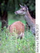 Rotwild die weiblichen Tiere werden als Hirschkuehe bezeichnet - ... Стоковое фото, фотограф Zoonar.com/Helge Schulz / easy Fotostock / Фотобанк Лори