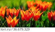 Jedes Jahr findet in Goenningen eine farbenfrohe Tulpenausstellung... Стоковое фото, фотограф Zoonar.com/Monika Scheurer / easy Fotostock / Фотобанк Лори