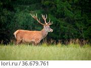 Strong red deer, cervus elaphus, stag with big antlers standing on... Стоковое фото, фотограф Zoonar.com/Jakub Mrocek / easy Fotostock / Фотобанк Лори