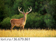 Sunlit red deer, cervus elaphus, stag with new antlers growing facing... Стоковое фото, фотограф Zoonar.com/Jakub Mrocek / easy Fotostock / Фотобанк Лори
