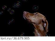 Portrait eines Magyar Vizsla auch Kurzhaariger Ungarischer Vorstehhund... Стоковое фото, фотограф Zoonar.com/Hans Eder / easy Fotostock / Фотобанк Лори