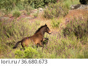 Wild Garrano horse (Equus ferus caballus) foal, running in a lavender... Стоковое фото, фотограф Kristel Richard / Nature Picture Library / Фотобанк Лори