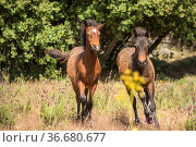 Two wild Garrano colts (Equus ferus caballus), running in a lavender... Стоковое фото, фотограф Kristel Richard / Nature Picture Library / Фотобанк Лори