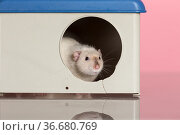 Domestic rat in the house. Стоковое фото, фотограф Argument / Фотобанк Лори