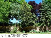Quercus ilex, Steineiche, holm oak. Стоковое фото, фотограф Zoonar.com/Peter Himmelhuber / age Fotostock / Фотобанк Лори