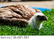 The Griffon vulture Gyps fulvus is a large Old World vulture in the... Стоковое фото, фотограф Zoonar.com/Rudolf Ernst / age Fotostock / Фотобанк Лори