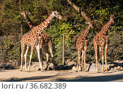 The giraffe, Giraffa camelopardalis is an African even-toed ungulate... Стоковое фото, фотограф Zoonar.com/Rudolf Ernst / age Fotostock / Фотобанк Лори