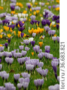 Krokus, krokusse, violett, weiß, blume, blumen, blüte, blüten, garten... Стоковое фото, фотограф Zoonar.com/Volker Rauch / easy Fotostock / Фотобанк Лори