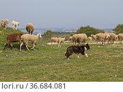 Genügsame Schafe in Istrien finden auch auf der karstigen Halbinsel... Стоковое фото, фотограф Zoonar.com/Eder Christa / easy Fotostock / Фотобанк Лори