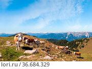 Cows in Seiser Alm, the largest high altitude Alpine meadow in Europe... Стоковое фото, фотограф Zoonar.com/Franco Nadalin / easy Fotostock / Фотобанк Лори
