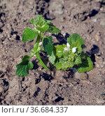 Weisse Taubnessel, Ist eine Heilpflanze und Arzneipflanze, Wildpflanze. Стоковое фото, фотограф Zoonar.com/Manfred Ruckszio / easy Fotostock / Фотобанк Лори