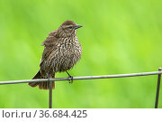 Song sparrow (melospiza melodia) perched on a wire fence by Hauser... Стоковое фото, фотограф Zoonar.com/Gregory Johnston Photography / easy Fotostock / Фотобанк Лори
