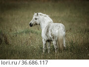 A small white colored horse stands in a field near Hauser, Idaho. Стоковое фото, фотограф Zoonar.com/Gregory Johnston Photography / easy Fotostock / Фотобанк Лори