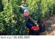 Woman and man picking red tomatoes. Стоковое фото, фотограф Яков Филимонов / Фотобанк Лори