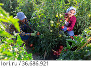 Smiling young female farm worker gathering crop of pink tomatoes. Стоковое фото, фотограф Яков Филимонов / Фотобанк Лори