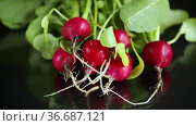 Fresh natural organic ripe radish on black background. Стоковое видео, видеограф Peredniankina / Фотобанк Лори