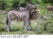 Zebras. Стоковое фото, фотограф Art Konovalov / Фотобанк Лори