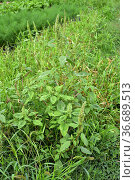 Red-root amaranth or red-root pigweed (Amaranthus retroflexus) is... Стоковое фото, фотограф J M Barres / age Fotostock / Фотобанк Лори