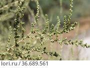 Mediterranean saltwort (Salsola vermiculata) is a branched shrub ... Стоковое фото, фотограф J M Barres / age Fotostock / Фотобанк Лори