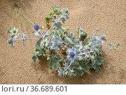 Seaside eryngo or sea holly (Eryngium maritimum) is a spiny shrub... Стоковое фото, фотограф J M Barres / age Fotostock / Фотобанк Лори
