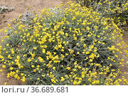 Mediterranean strawflower (Helichrysum stoechas) is an annual or ... Стоковое фото, фотограф J M Barres / age Fotostock / Фотобанк Лори