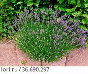 Lavendel, Lavendula, angustifolia, officinalis. Стоковое фото, фотограф Zoonar.com/Manfred Ruckszio / easy Fotostock / Фотобанк Лори
