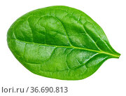 Single fresh green leaf of Spinach leafy vegetable isolated on white... Стоковое фото, фотограф Zoonar.com/Valery Voennyy / easy Fotostock / Фотобанк Лори