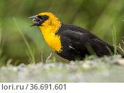 A male yellow headed blackbird (xanthocephalus) has a worm or grub... Стоковое фото, фотограф Zoonar.com/Gregory Johnston Photography / easy Fotostock / Фотобанк Лори
