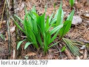 Wild Ramps - wild garlic ( Allium tricoccum), commonly known as ramp... Стоковое фото, фотограф Zoonar.com/Karel-Denny / easy Fotostock / Фотобанк Лори