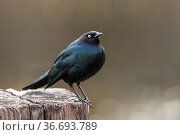 A brewer's blackbird is perched on a post in Hauser, Idaho. Стоковое фото, фотограф Zoonar.com/Gregory Johnston Photography / easy Fotostock / Фотобанк Лори
