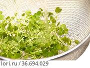 rocket salad microgreens washed under tap in a sieve. Стоковое фото, фотограф Tamara Kulikova / Фотобанк Лори