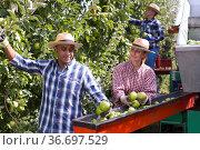 Workers harvesting ripe apples using sorting machine. Стоковое фото, фотограф Яков Филимонов / Фотобанк Лори