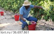 African american farm worker harvesting ripe red plums in fruit garden on summer day. Стоковое видео, видеограф Яков Филимонов / Фотобанк Лори