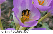 Bumblebee collects pollen from a blue autumn flower. Стоковое видео, видеограф Константин Мерцалов / Фотобанк Лори