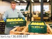 studious man working on fruit sorting line, carrying box with apples in storage. Стоковое фото, фотограф Яков Филимонов / Фотобанк Лори