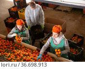Above view of male and female workers in colored uniform sorting fresh ripe mandarins. Стоковое фото, фотограф Яков Филимонов / Фотобанк Лори