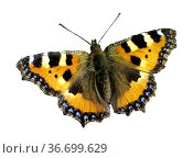 Kleiner Fuchs, Aglais urticae, Schmetterling, Tagfalter, Стоковое фото, фотограф Zoonar.com/Manfred Ruckszio / age Fotostock / Фотобанк Лори