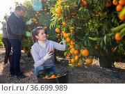 Portrait of adult woman and man harvesting tangerines on organic plantation. Стоковое фото, фотограф Яков Филимонов / Фотобанк Лори