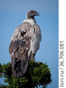 White-backed vulture in Masai Mara National Park. Стоковое фото, фотограф Zoonar.com/Lotti Fabio / easy Fotostock / Фотобанк Лори