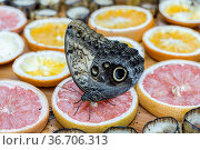 A closeup of a giant owl butterfly feeding on fruit at a butterfly... Стоковое фото, фотограф Zoonar.com/Gregory Johnston / easy Fotostock / Фотобанк Лори