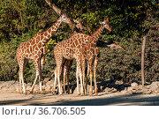 The giraffe, Giraffa camelopardalis is an African even-toed ungulate... Стоковое фото, фотограф Zoonar.com/Rudolf Ernst / easy Fotostock / Фотобанк Лори
