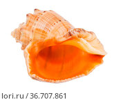 Empty shell of rapana isolated on white background. Стоковое фото, фотограф Zoonar.com/Valery Voennyy / easy Fotostock / Фотобанк Лори