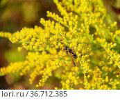 Full frame Canada goldenrod flower closeup. Стоковое фото, фотограф Zoonar.com/Achim Prill / easy Fotostock / Фотобанк Лори
