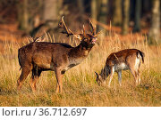 Couple fallow deer, dama dama,s grazing on field in autumn nature... Стоковое фото, фотограф Zoonar.com/Jakub Mrocek / easy Fotostock / Фотобанк Лори