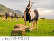 Wild horses near Hay Bluff and Twmpa in the Black Mountains, Brecon... Стоковое фото, фотограф Zoonar.com/Bernd Brueggemann / easy Fotostock / Фотобанк Лори