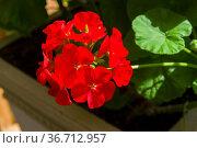 Цветущая красная герань (Пеларгония зональная, лат. Pelargonium zonale). Стоковое фото, фотограф Сергей Рыбин / Фотобанк Лори