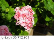 Цветущая розовая герань (Пеларгония зональная, лат. Pelargonium zonale). Стоковое фото, фотограф Сергей Рыбин / Фотобанк Лори