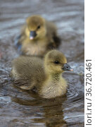 Two Greylag goose (Anser anser) goslings, Whitlingham CP Norfolk UK, April. Стоковое фото, фотограф Robin Chittenden / Nature Picture Library / Фотобанк Лори
