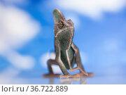 Sky background, reptile, Chameleon lizard. Стоковое фото, фотограф Zoonar.com/Sebastian Duda / age Fotostock / Фотобанк Лори